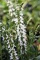 Salvia x sylvestris Snow Hill 0zz.jpg