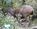 Sambar Deer (Cervus unicolor) - Flickr - Lip Kee.jpg
