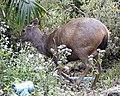 Sambar Deer (Cervus unicolor) - Flickr - Lip Kee.jpg