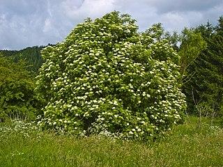<i>Sambucus nigra</i> Species of plant