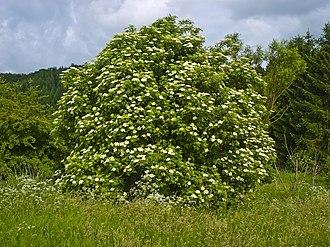 Sambucus nigra - Shrub in flower