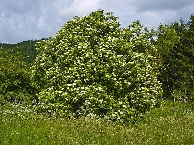 File:Sambucus nigra 004.jpg