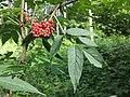 Sambucus racemosa sl2.jpg