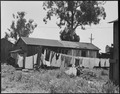 San Lorenzo, California. Washday 48 hours before evacuation of persons of Japanese ancestry from th . . . - NARA - 537544.tif