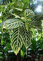 Sanchezia speciosa kz1.jpg