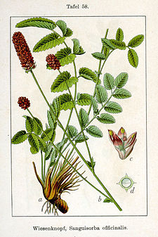 Sanguisorba officinalis Sturm58.jpg