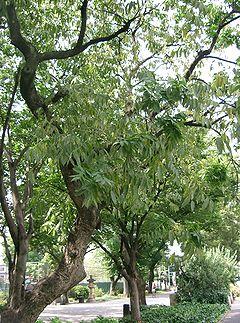 無患子(Sapindus mukorossi)樹