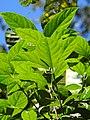 Saprosma ternatum DSCN1447 02.jpg
