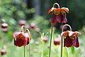 Sarracenia jonesii FWS (27121840012).jpg