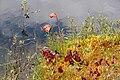 Sarracenia purpurea PM.jpg