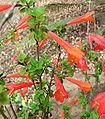 Satureja mexicana 2.jpg
