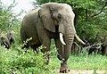 Savanna Elephants (Loxodonta africana) (51140118714).jpg