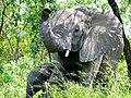 Savanna Elephants (Loxodonta africana) female with young ... (51115057121).jpg