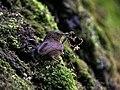 Scaly-breasted Wren Babbler I IMG 6872.jpg