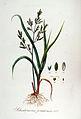 Schedonorus pratensis — Flora Batava — Volume v7.jpg
