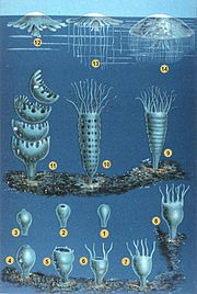 The developmental stages of jellyfish.