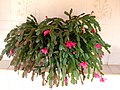 Schlumbergera truncata flordemaio.jpg