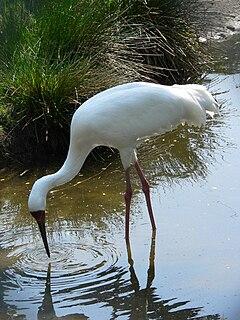 Siberian crane species of bird