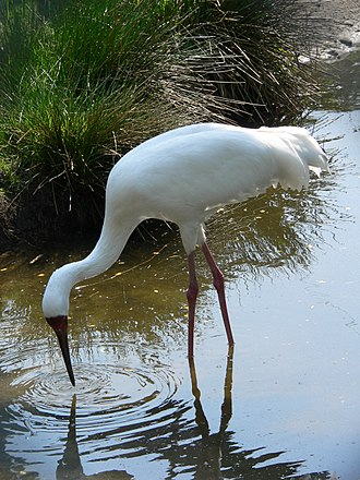 Siberian crane - A captive individual in a zoo