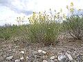 Schoenocrambe linifolia (5008662656).jpg