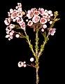 Scholtzia laxiflora - Flickr - Kevin Thiele.jpg