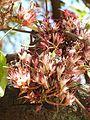 Schotia brachypetala, lente, e, Pretoria.jpg