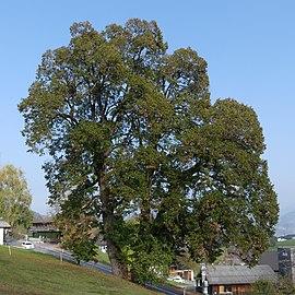 Schwarzenberg, Sommerlinde Naturdenkmal 204.jpg