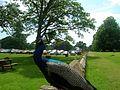 Scone Palace Peacock - panoramio (2).jpg