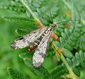 Scorpion Fly. Panorpa communis. Mecoptera - Flickr - gailhampshire.jpg