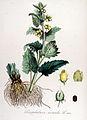 Scrophularia vernalis — Flora Batava — Volume v14.jpg