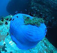 Sea anemone, Nha Trang