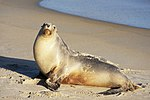 Sea lion on the beach.jpg