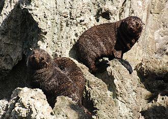 Arctocephalus forsteri - Image: Seal Cubs Palliser Bay 20070331