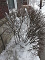 Second North American blizzard of 2010 (Pittsburgh, Oakland) - icicles.JPG