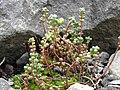 Sedum brevifolium 1.JPG