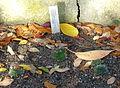Sempervivum heuffelii (Jovibarba heuffelii) - Botanischer Garten Braunschweig - Braunschweig, Germany - DSC04378.JPG