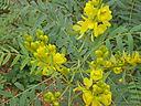 Senna alexandrina Mill.-Cassia angustifolia L. (Senna Plant)