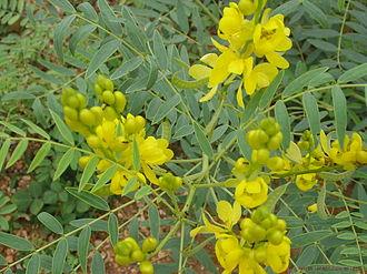 Phytochemistry - Image: Senna alexandrina Mill. Cassia angustifolia L. (Senna Plant)
