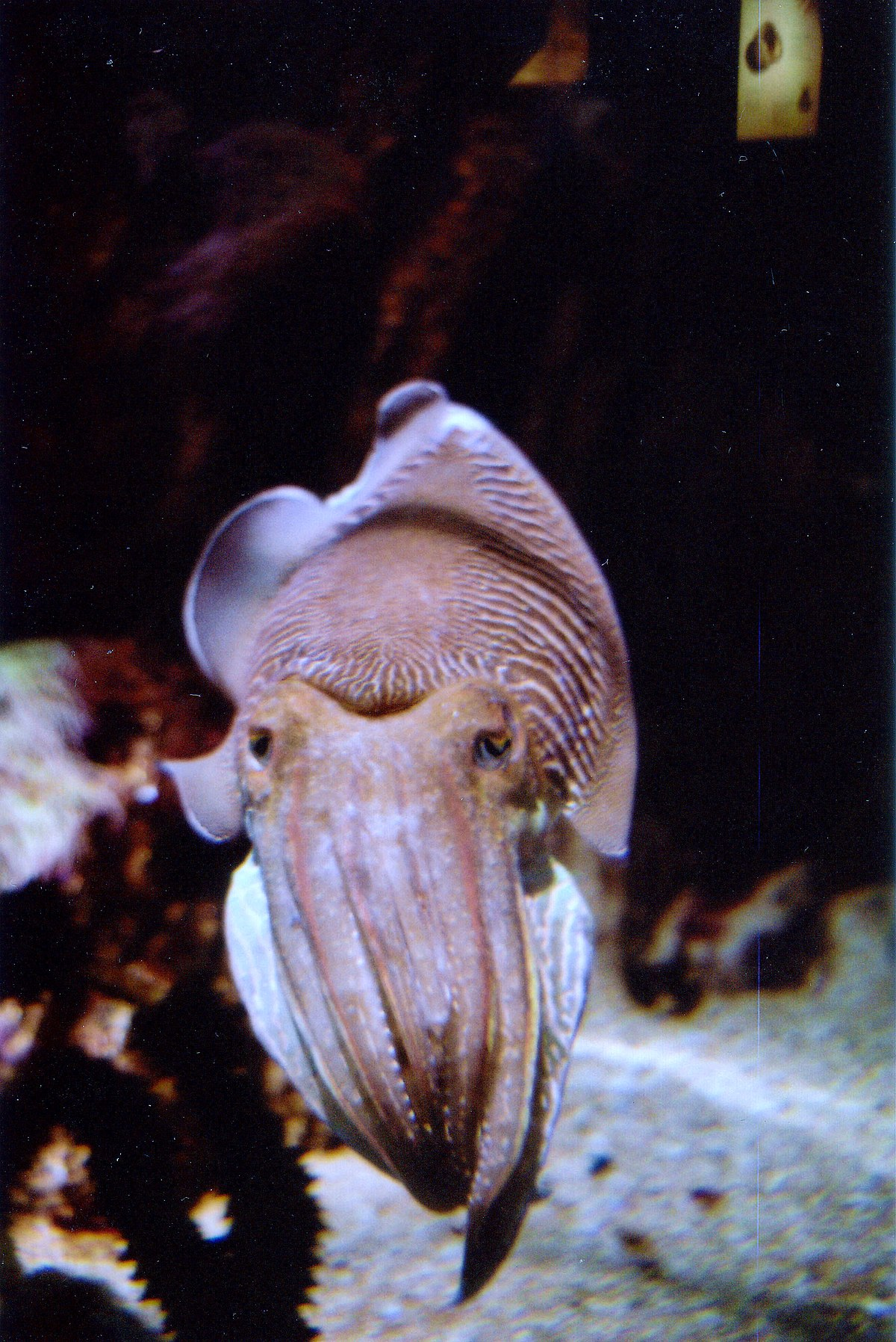 Sepia (genus) - Wikipedia