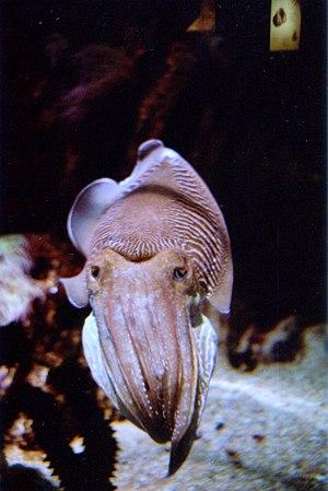 Sepia (genus) - Image: Sepia 1