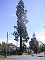 Sequoia0666.jpg