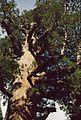 Sequoiadendron giganteum 5.jpg