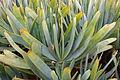 Ses Salines - Botanicactus - Aloe plicatilis 03 ies.jpg