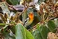 Setophaga fusca Monteverde 02.jpg