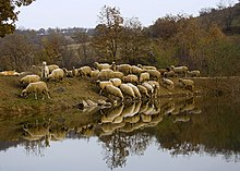 220px-Sheep_at_watering_place_in_Bulgaria