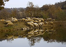 Sheep at watering place in Bulgaria.jpg