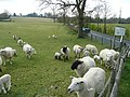Sheep by the B2188 - geograph.org.uk - 807558.jpg