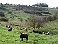 Sheep grazing St Catherine's Hill nature reserve - geograph.org.uk - 270624.jpg