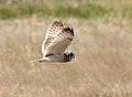 Short-eared Owl - Ruh-red Road - 1.jpg