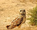 Short eared owl kuwait by irvin calicut DSCN0576.jpg